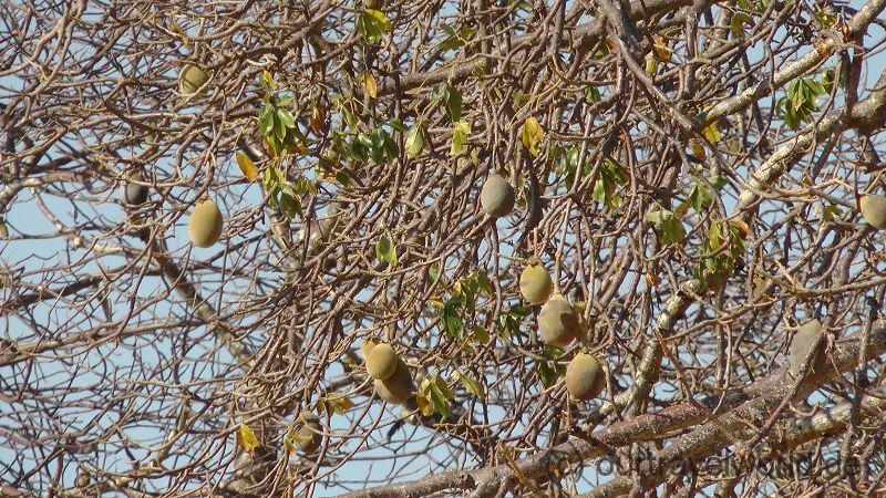 Früchte des Baobab
