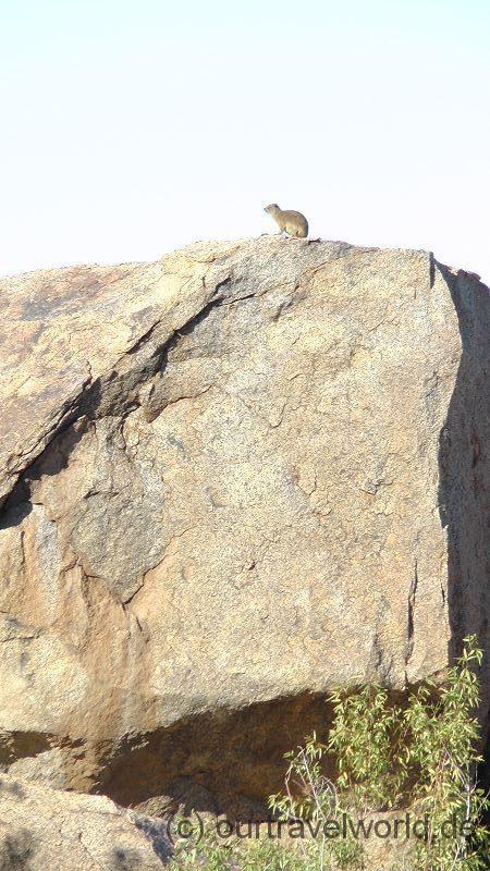 Ein Klippschliefer hält Ausschau